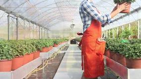 Mujer en el trabajo en invernadero con el espray, plantas del cuidado metrajes