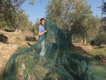 Mujer en el trabajo, establecimiento de una red en el campo para cosechar el oliv fotografía de archivo libre de regalías