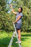 Mujer en las peras de la cosecha de la escalera en huerta fotos de archivo