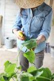 Mujer en pesticida de los esprayes del huerto en la hoja de la planta con la oruga, cuidado de las plantas para el crecimiento imagen de archivo libre de regalías