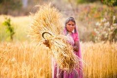 Mujer en trigo de la cosecha de la India Imagen de archivo