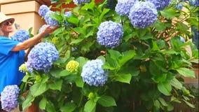 Mujer en un arbusto de la hortensia de las flores almacen de video