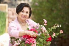 Mujer hispánica mayor que trabaja en el jardín que pone en orden los potes fotos de archivo