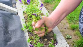 Mujer irreconocible que rasga hacia fuera malas hierbas en un jard?n usando sus manos almacen de video
