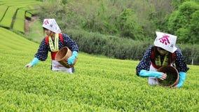 Mujer japonesa que cosecha las hojas de té almacen de video