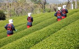 Mujer japonesa que cosecha las hojas de té Foto de archivo libre de regalías