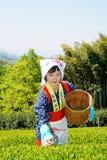 Mujer japonesa que cosecha las hojas de té Imagen de archivo