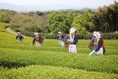 Mujer japonesa que cosecha las hojas de té Imagen de archivo libre de regalías