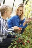 Mujer joven con el adolescente que cosecha los tomates Imagen de archivo libre de regalías