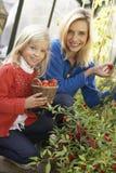 Mujer joven con el niño que cosecha los tomates Foto de archivo