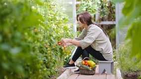 Mujer joven con la cesta de verdor y de verduras en el invernadero Hora de cosechar almacen de video