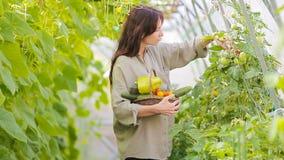 Mujer joven con la cesta de verdor y de verduras en el invernadero Hora de cosechar metrajes