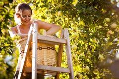 Mujer joven para arriba en manzanas de una cosecha de la escalera de un manzano Imagenes de archivo