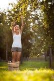 Mujer joven para arriba en manzanas de una cosecha de la escalera de un manzano Fotos de archivo