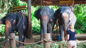 Mujer joven que alimenta los elefantes en la granja durante viaje a través de Asia almacen de video