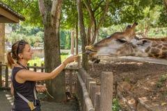 Mujer joven que alimenta una jirafa en el parque zoológico Imagenes de archivo