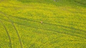 Mujer joven que camina en un campo de flor Campo rural con las flores amarillas almacen de video