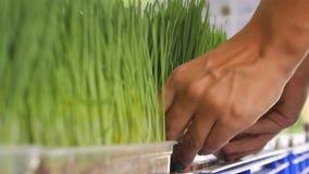 Mujer joven que compra Wheatgrass orgánico fresco en la tienda de alimentación Concepto crudo del Detox de la forma de vida de la metrajes