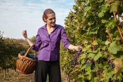 Mujer joven que cosecha la uva Fotos de archivo