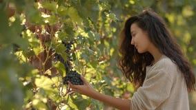 Mujer joven que escoge las uvas en el viñedo durante la cosecha de la vid, en un soleado precioso, día del otoño almacen de metraje de vídeo