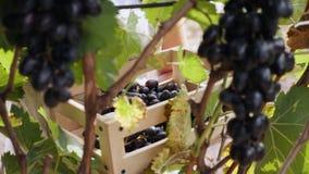 Mujer joven que escoge las uvas oscuras en el viñedo almacen de metraje de vídeo