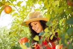 Mujer joven que escoge manzanas rojas en una huerta Foto de archivo libre de regalías