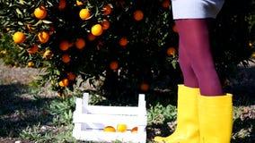 Mujer joven que escoge naranjas maduras metrajes