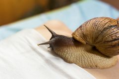 Mujer joven que experimenta el tratamiento con los caracoles de Achatina del gigante en b Foto de archivo