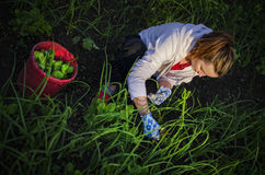 Mujer joven que tira de malas hierbas Imágenes de archivo libres de regalías
