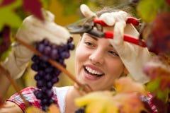 Mujer linda sonriente que cosecha las uvas fotografía de archivo