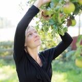 Mujer  manzanas de la cosecha Imagen de archivo