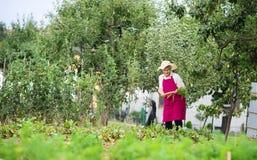 Mujer mayor que cosecha zanahorias Imágenes de archivo libres de regalías