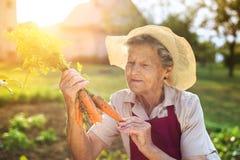 Mujer mayor que cosecha zanahorias Foto de archivo libre de regalías