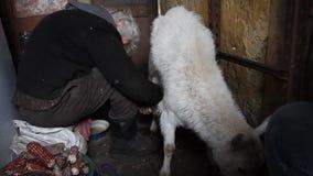 Mujer mayor que ordeña una dieta sana y natural de la cabra en pueblo almacen de metraje de vídeo
