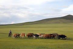 Mujer mongol que reúne ganado Imagen de archivo