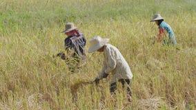 Mujer no identificada del granjero que usa la hoz a cosechar el arroz en campo almacen de metraje de vídeo
