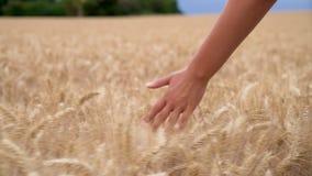 Mujer o mano femenina adolescente de la muchacha que siente el top de un campo de la cosecha de oro de la cebada, del ma?z o del  almacen de video