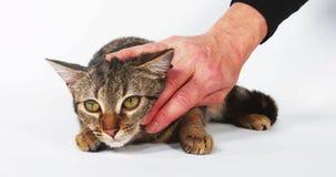 Mujer que acaricia a un Brown Tabby Domestic Cat en el fondo blanco, metrajes