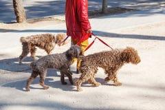 Mujer que camina tres perros fotografía de archivo libre de regalías