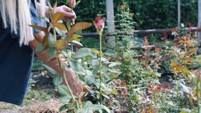 Mujer que corta la rosa del blanco en jardín metrajes