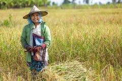 Mujer que cosecha el arroz Fotografía de archivo libre de regalías