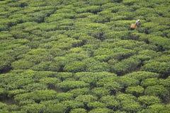 Mujer que cosecha las hojas de té Imagenes de archivo