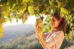 Mujer que cosecha las uvas bajo luz de la puesta del sol en un viñedo Imagenes de archivo