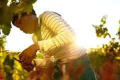 Mujer que cosecha las uvas en viñedo Foto de archivo libre de regalías