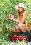 Mujer que cosecha los tomates Imagenes de archivo