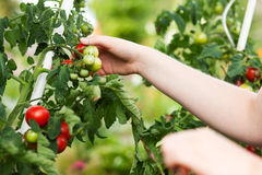 Mujer que cosecha los tomates en jardín Foto de archivo libre de regalías