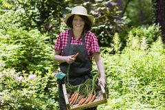 Mujer que cosecha zanahorias Fotografía de archivo libre de regalías