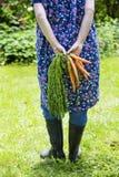 Mujer que cosecha zanahorias Foto de archivo