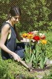 Mujer que cultiva un huerto en un jardín de la primavera con los tulipanes florecientes imagenes de archivo