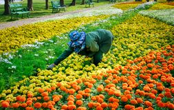 Mujer que escoge las flores en campo de flor colorido vivo imágenes de archivo libres de regalías